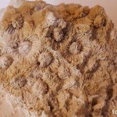 Coleccionismo de fósiles: FOSIL- CORAL FOSIL HELIASTREA. Lote 211922626