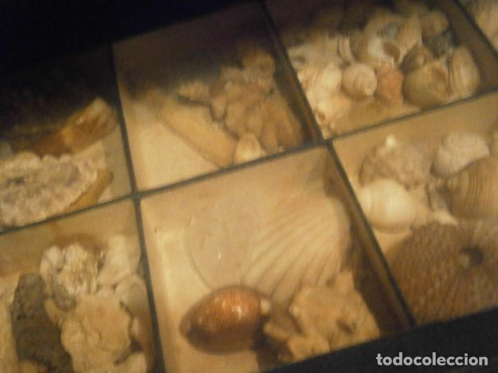 Coleccionismo de fósiles: ¡¡ importante coleccion de fosil variados....muy antiguos,,con bonito manetin muy antiguo,4 cajones - Foto 2 - 212132881