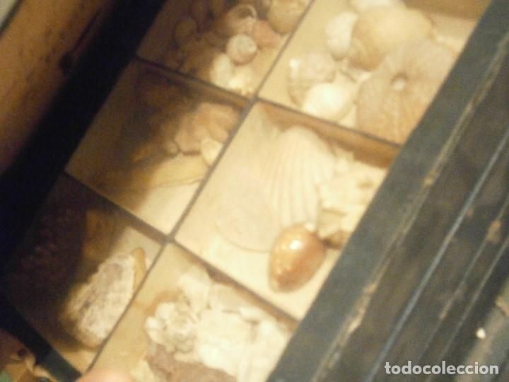 Coleccionismo de fósiles: ¡¡ importante coleccion de fosil variados....muy antiguos,,con bonito manetin muy antiguo,4 cajones - Foto 5 - 212132881