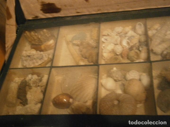 Coleccionismo de fósiles: ¡¡ importante coleccion de fosil variados....muy antiguos,,con bonito manetin muy antiguo,4 cajones - Foto 9 - 212132881