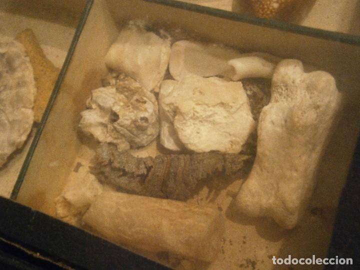 Coleccionismo de fósiles: ¡¡ importante coleccion de fosil variados....muy antiguos,,con bonito manetin muy antiguo,4 cajones - Foto 11 - 212132881