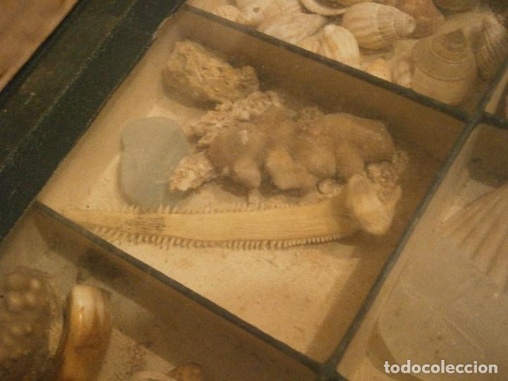 Coleccionismo de fósiles: ¡¡ importante coleccion de fosil variados....muy antiguos,,con bonito manetin muy antiguo,4 cajones - Foto 35 - 212132881