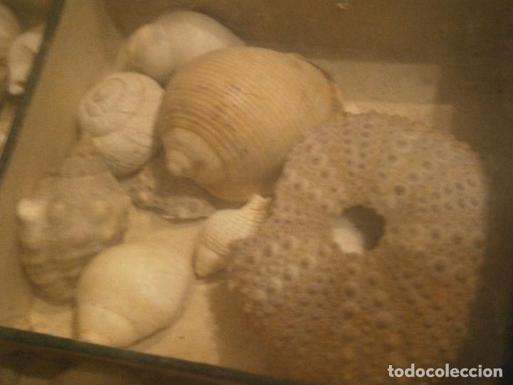 Coleccionismo de fósiles: ¡¡ importante coleccion de fosil variados....muy antiguos,,con bonito manetin muy antiguo,4 cajones - Foto 39 - 212132881