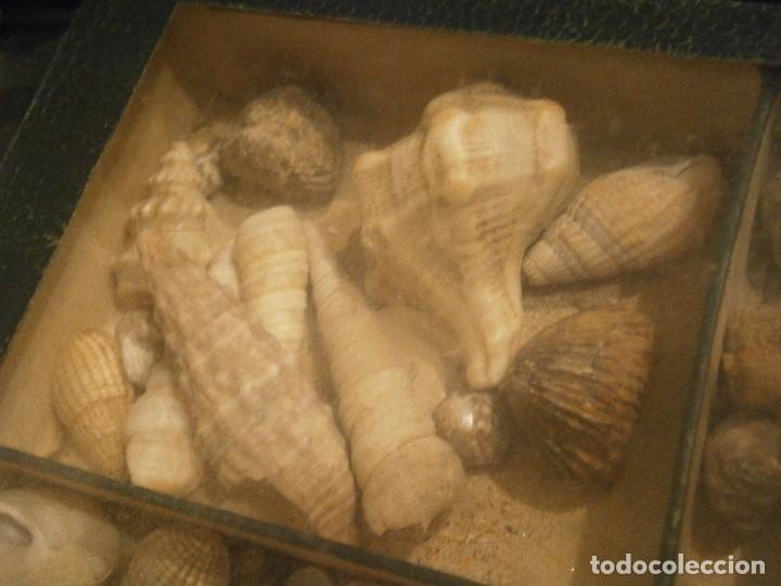 Coleccionismo de fósiles: ¡¡ importante coleccion de fosil variados....muy antiguos,,con bonito manetin muy antiguo,4 cajones - Foto 42 - 212132881