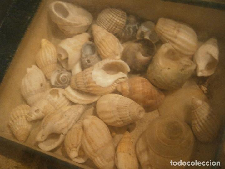 Coleccionismo de fósiles: ¡¡ importante coleccion de fosil variados....muy antiguos,,con bonito manetin muy antiguo,4 cajones - Foto 43 - 212132881