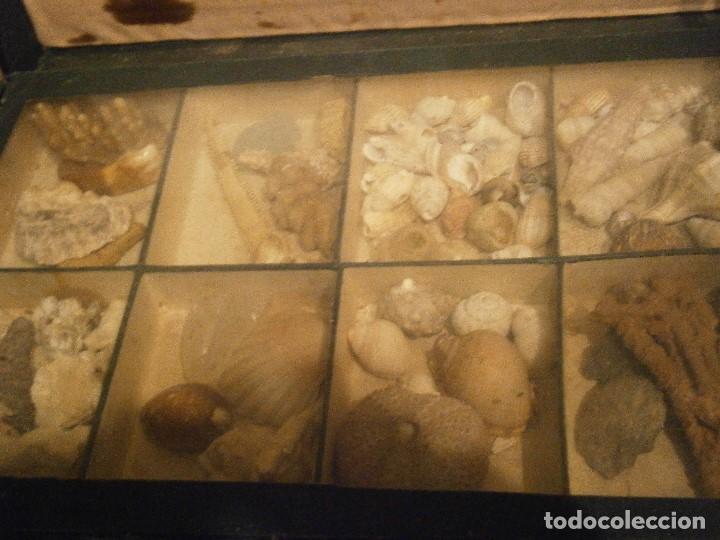 Coleccionismo de fósiles: ¡¡ importante coleccion de fosil variados....muy antiguos,,con bonito manetin muy antiguo,4 cajones - Foto 45 - 212132881