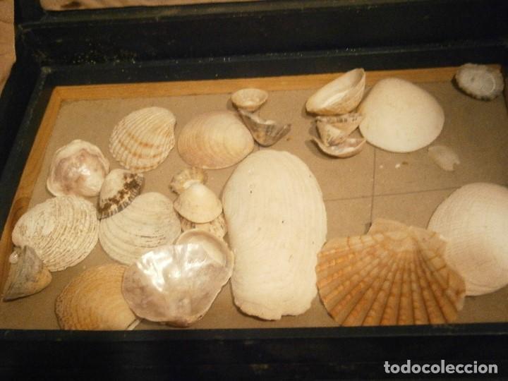 Coleccionismo de fósiles: ¡¡ importante coleccion de fosil variados....muy antiguos,,con bonito manetin muy antiguo,4 cajones - Foto 46 - 212132881