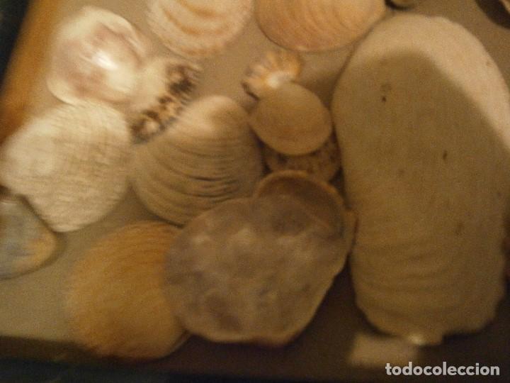 Coleccionismo de fósiles: ¡¡ importante coleccion de fosil variados....muy antiguos,,con bonito manetin muy antiguo,4 cajones - Foto 47 - 212132881