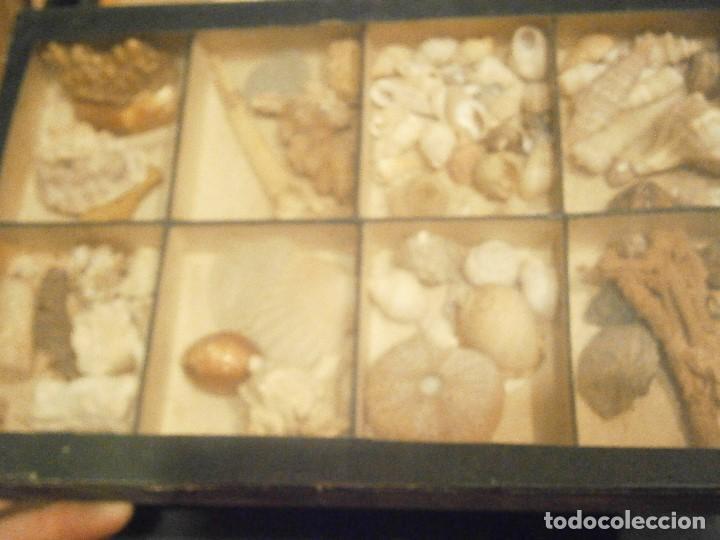 Coleccionismo de fósiles: ¡¡ importante coleccion de fosil variados....muy antiguos,,con bonito manetin muy antiguo,4 cajones - Foto 55 - 212132881