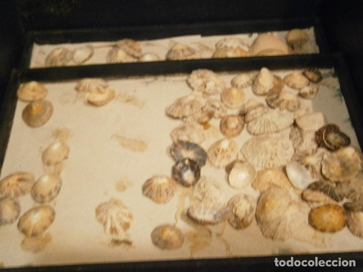 Coleccionismo de fósiles: ¡¡ importante coleccion de fosil variados....muy antiguos,,con bonito manetin muy antiguo,4 cajones - Foto 57 - 212132881