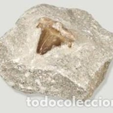 Collezionismo di fossili: FÓSIL DIENTE DE TIBURÓN PREHISTÓRICO LAMMA OBLICUA, EN MATRIZ. 55-33 MILLONES DE AÑOS.. Lote 213485551