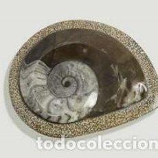 Coleccionismo de fósiles: FÓSIL AMMONITES, PULIMENTADO, JURÁSICO, YACIMIENTO DE ERFOUD.. Lote 278616018