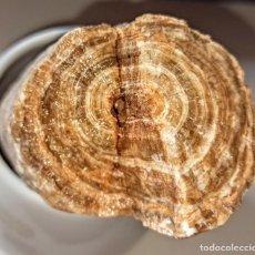 Coleccionismo de fósiles: TRONQUITO FÖSIL BUEN TAMAÑO. Lote 215634390