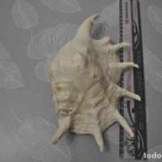 Coleccionismo de fósiles: CARACOLA MEDIDAS 27X12CM. PROCEDENCIA DE PACÍFICO. IDEAL DECORACIÓN, ACUARIOS, ETC.... Lote 215955595