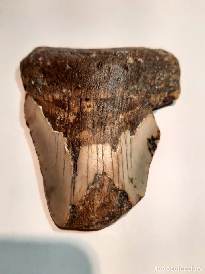 Coleccionismo de fósiles: 3. FÓSIL. ENORME DIENTE DE MEGALODÓN. 11,3 CENTÍMETROS. - Foto 2 - 218131251
