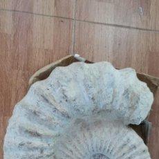 Coleccionismo de fósiles: IMPRESIONANTE FÓSIL DE AMMONITE GIGANTE, CON MÁS DE 47 CM. UNA PIEZA DE NIVEL MUSEÍSTICO.. Lote 238573520