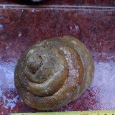 Coleccionismo de fósiles: GASTEROPODO LEPTOCONUS SP.. Lote 218325345