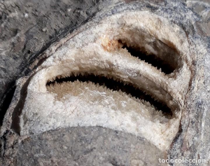 RARO FÓSIL. PETRIFICADO, CRISTALIZADO. CRETÁCICO. OBSERVEN TODAS LAS FOTOS. MINERALES. (Coleccionismo - Fósiles)