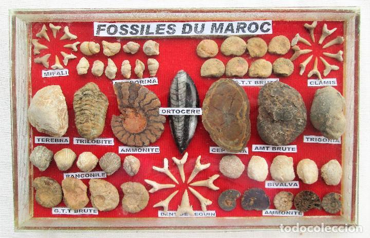COLECCIÓN DE 69 FÓSILES AUTENTICOS DE MARRUECOS,EN VITRINA DE CRISTAL CON SUS NOMBRES CIENTÍFICOS (Coleccionismo - Fósiles)