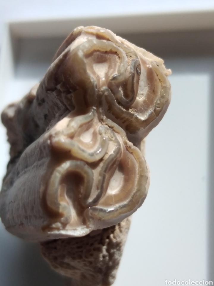 MOLAR FOSIL HIPPARION. CHINA. (Coleccionismo - Fósiles)