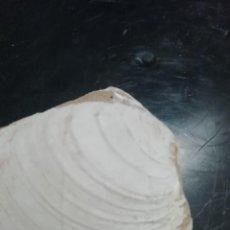Coleccionismo de fósiles: VENUS (VENTRICOLOIDEA) MULTILAMELLA. Lote 224696370