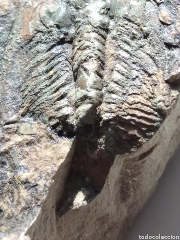 Coleccionismo de fósiles: FOSIL TRILOBITES PARADOXIDES. CAMBRICO. EUROPA. - Foto 5 - 224844762