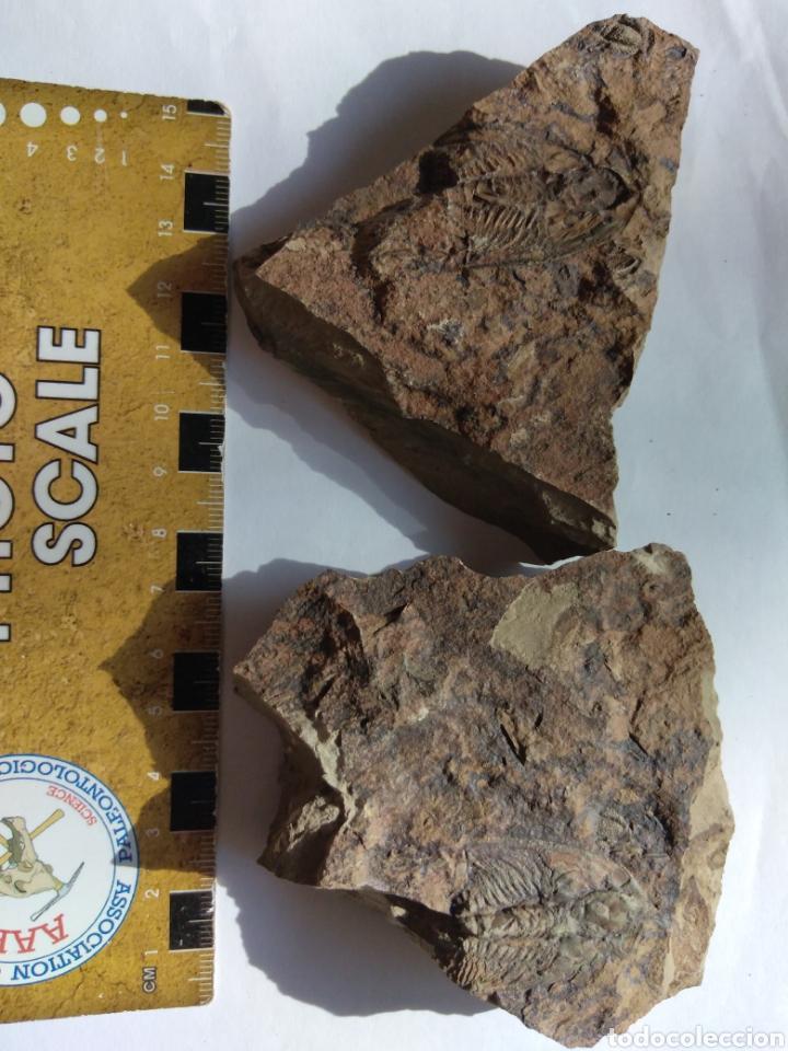 Coleccionismo de fósiles: FOSIL TRILOBITES PARADOXIDES. CAMBRICO. EUROPA. - Foto 6 - 224844762