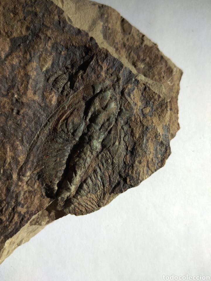 Coleccionismo de fósiles: FOSIL TRILOBITES PARADOXIDES. CAMBRICO. EUROPA. - Foto 7 - 224844762