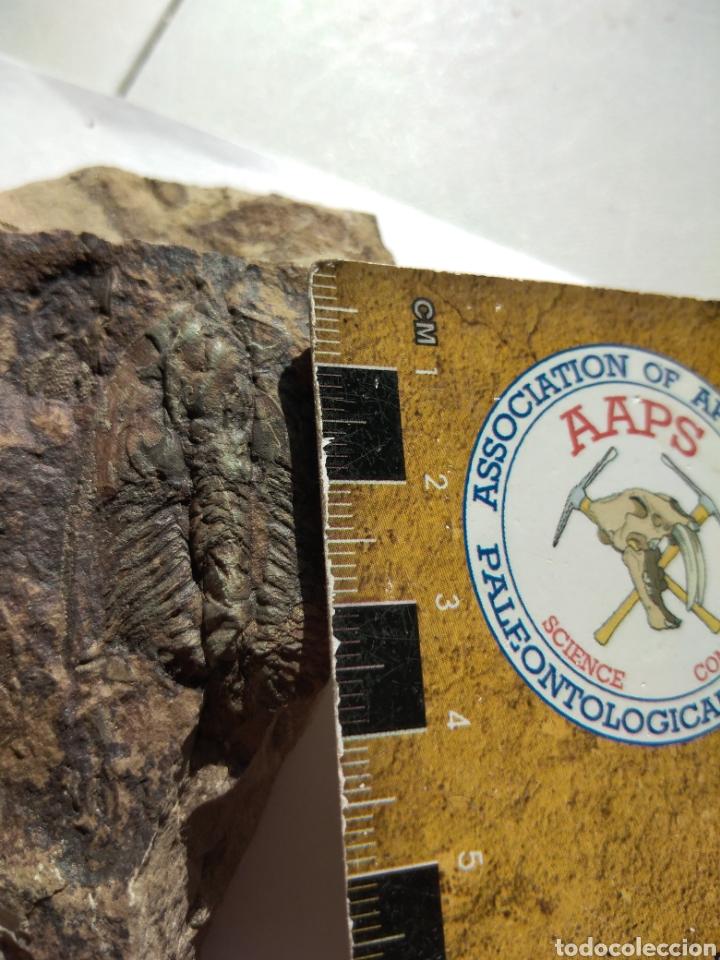 Coleccionismo de fósiles: FOSIL TRILOBITES PARADOXIDES. CAMBRICO. EUROPA. - Foto 8 - 224844762