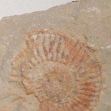 Colecionismo de fósseis: AMMONITES FOSIL. CRETACICO. EUROPA.. Lote 225350835