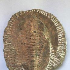 Coleccionismo de fósiles: TRILOBITES - PARADOXIDES - GRANDES DIMENSIONES - 21X18X3. Lote 225998362