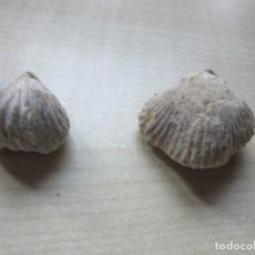 Coleccionismo de fósiles: 2 CONCHAS FÓSILES MEDIDAS APROX 2,7 X2,2 Y 1,9 X 2 CMS. Lote 226758990