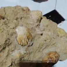 Coleccionismo de fósiles: PLACA DE PECTINIDOS TEREBRATULA Y ERIZO. Lote 228813720