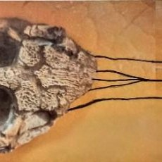 Coleccionismo de fósiles: CRANEO DE MACHIMOSAURUS REX (COCODRILOMORFO FÓSIL). Lote 229377330