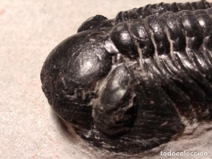 Coleccionismo de fósiles: TRILOBITES FOSIL REEDOPS. DEVONICO. MARRUECOS. - Foto 5 - 230428890