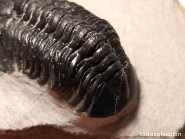 Coleccionismo de fósiles: TRILOBITES FOSIL REEDOPS. DEVONICO. MARRUECOS. - Foto 6 - 230428890