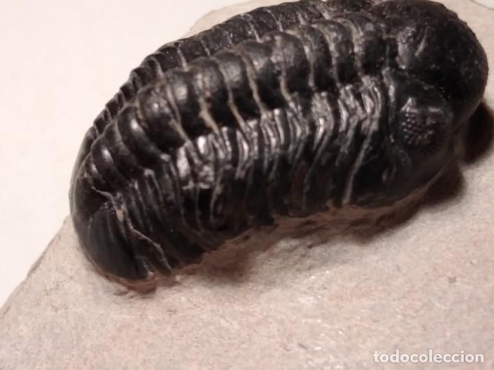Coleccionismo de fósiles: TRILOBITES FOSIL REEDOPS. DEVONICO. MARRUECOS. - Foto 7 - 230428890
