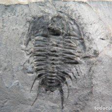 Coleccionismo de fósiles: STUNNIG NATURAL TRILOBITE OLENOIDES NEVADENSIS(MEEK,1870),PREPARACIÓN AÑOS 80 , NATURAL, MUY RARO. Lote 230475975