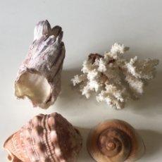 Coleccionismo de fósiles: COCHAS E CORAL. Lote 231599900