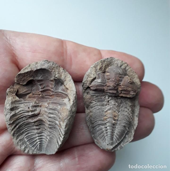 NÓDULO CON TRILOBITE VENUSTUS EN SU INTERIOR. FÓSIL. (Coleccionismo - Fósiles)