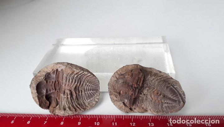 Coleccionismo de fósiles: NÓDULO CON TRILOBITE VENUSTUS EN SU INTERIOR. FÓSIL. - Foto 4 - 232544070