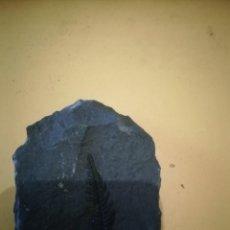 Coleccionismo de fósiles: NEUROPTERIS SP. Lote 236260945