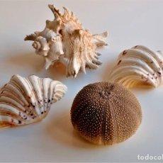 Coleccionismo de fósiles: CARACOLA GRANDE 14X12X10.CM CONCHAS 13X9X4.CM Y PEPINO MAR CREO 6.CM ALTO X 8.5.CM DIAMETRO. Lote 262755820
