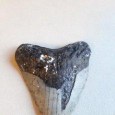 Coleccionismo de fósiles: 62. FÓSIL. ENORME DIENTE DE MEGALODÓN. 11,6 CENTÍMETROS.. Lote 237345675