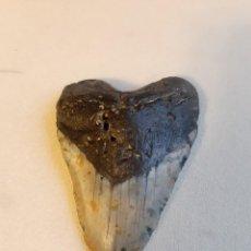 Coleccionismo de fósiles: 49. FÓSIL. ENORME DIENTE DE MEGALODÓN. 12,2 CENTÍMETROS.. Lote 237352465