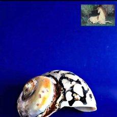 Coleccionismo de fósiles: FÓSILES CARACOL DE TURBANTE MARINO. FÓSIL CARACOLA. NÁCAR ORGÁNICO. Lote 237701415