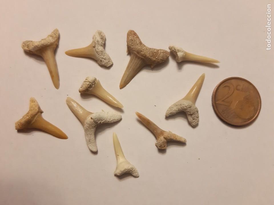 LOTE 5. 10 PEQUEÑOS DIENTES DE TIBURÓN (Coleccionismo - Fósiles)
