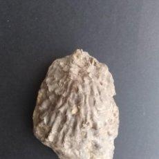 Coleccionismo de fósiles: FÓSIL MOLUSCOS. Lote 245349905