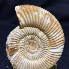 Coleccionismo de fósiles: CHOFFATIA DE MADAGASCAR. Lote 246555460