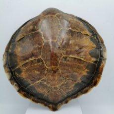 Collezionismo di fossili: CAPARAZÓN DE TORTUGA. Lote 254143535